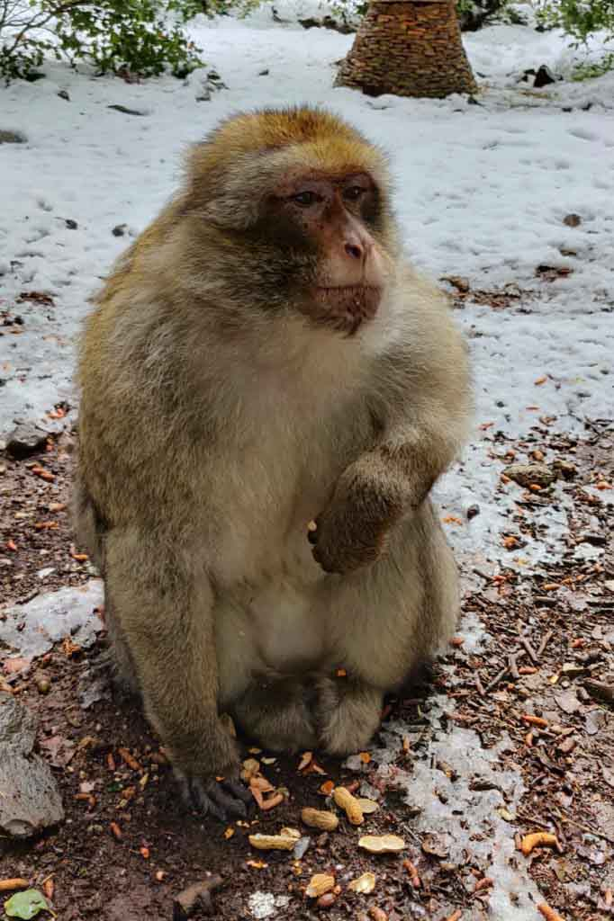 Barbary monkey in the snow