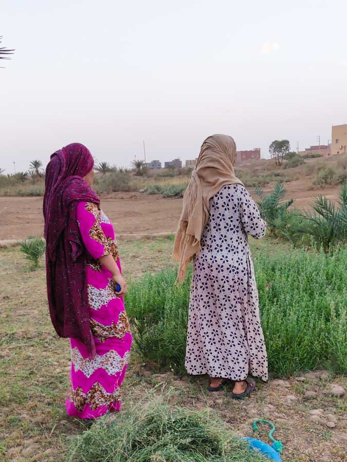 2 Women in traditional clothes of the desert in Morocco in a field cutting alfalfa