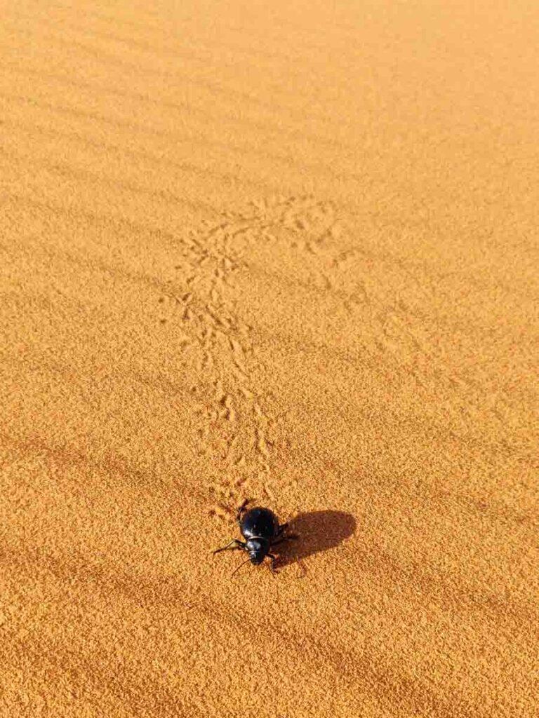 big black beetle leaving footprints in the sand