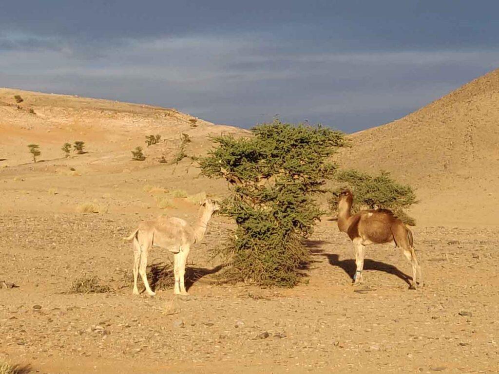 camels eating from acacia tree