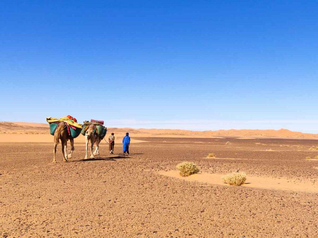 eines der ultimativen abenteuer in Marokko, Weitwandern in der Sahara. 2 Männer führen 3 Kamele über eine Ebene mit Steinen und kleinen Büschen. Am Horizont sind große Dünen