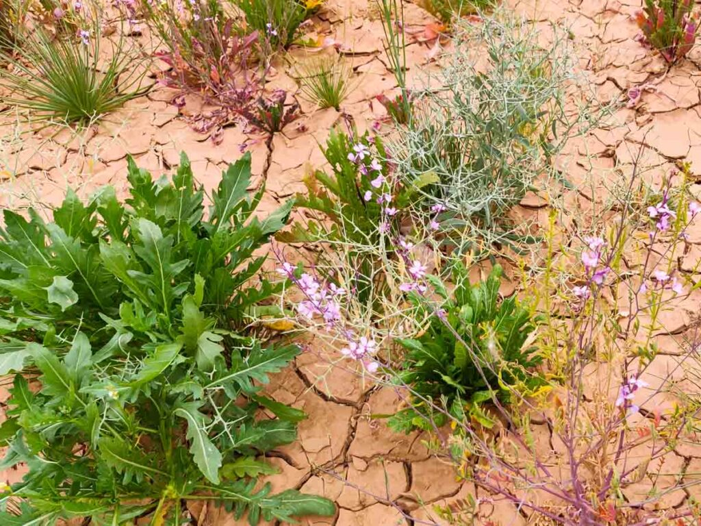 desert rucola with purple flowers, desert in Morocco