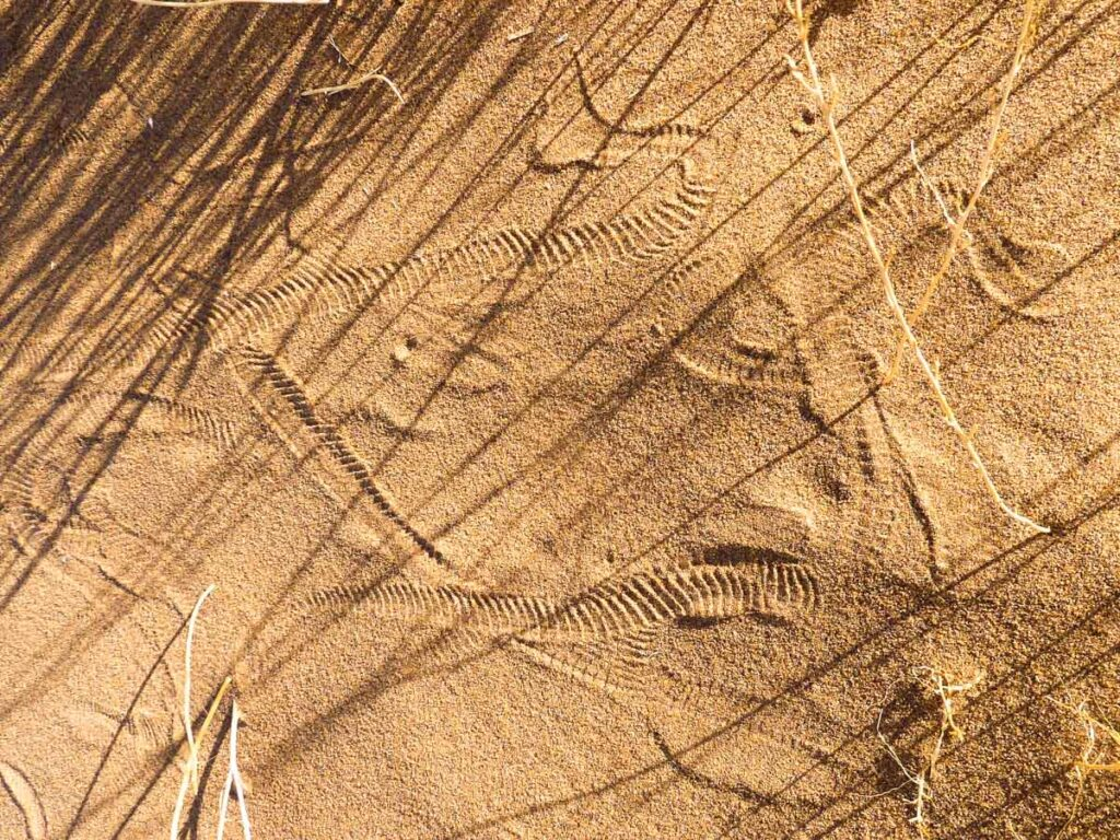 snake tracks in the sand next to dune grass